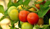 Natürlicher Dünger Kaffeesatz für Tomaten und mehr